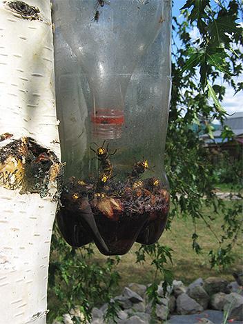 Vespe e calabroni potrebbero entrare in una tale trappola da una bottiglia di plastica, ma non uscire.