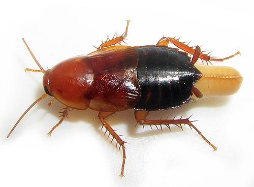 La foto mostra uno scarafaggio con un edema.