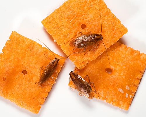 Gli scarafaggi domestici contaminano il cibo mentre si muovono attraverso di esso, contribuendo alla diffusione delle infezioni.