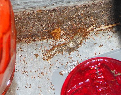 Le formiche del faraone possono danneggiare il cibo in casa