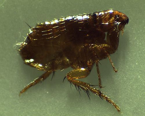 I parassiti degli insetti domestici succhiatori di sangue includono anche le pulci.