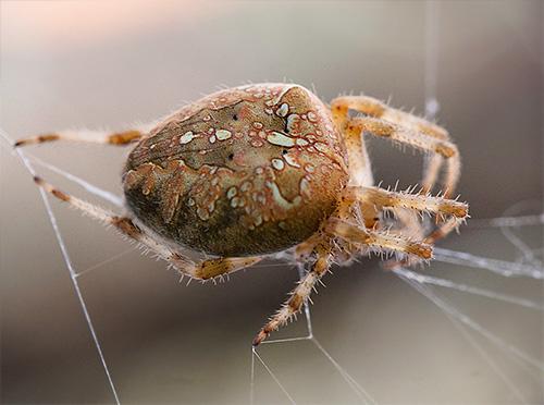 Ragno della gru sul web (diadematus di Araneus)