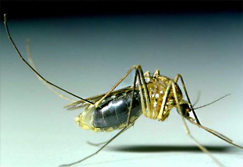 Le zanzare nella maggior parte dei casi non vivono a lungo nella casa e appaiono qui solo per bere sangue umano