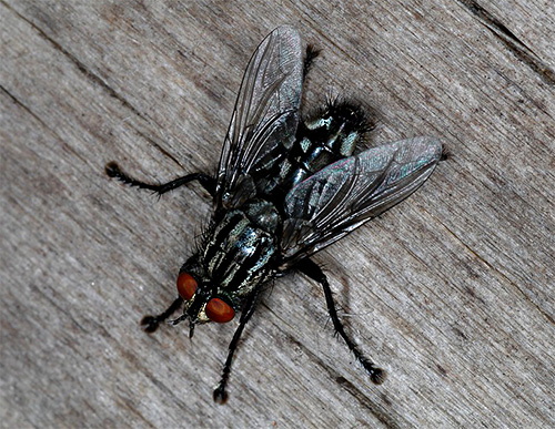 Mosca grigia (Sarcophagidae)
