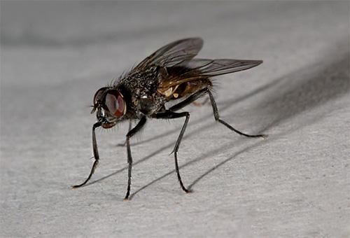 Una mosca domestica può essere trovata solo nella casa di un uomo.