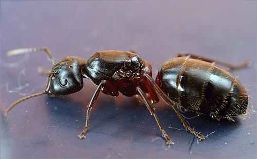 Formica borerea a torso rosso (Camponotus herculeanus)
