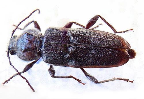 Lo scarabeo e le sue larve possono causare danni significativi alle strutture in legno, riducendo la loro forza.
