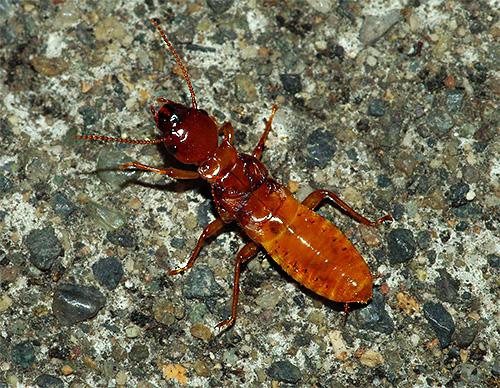 Le termiti possono anche danneggiare la casa di una persona.