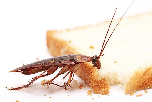 Lo scarafaggio dai capelli rossi è uno dei parassiti domestici più comuni.