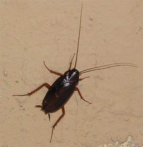 La foto mostra uno scarafaggio nero
