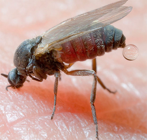 Morsi di insetto, ad esempio, nella taiga (moscerini) possono portare a conseguenze molto gravi, se non inizialmente prendere misure protettive adeguate.