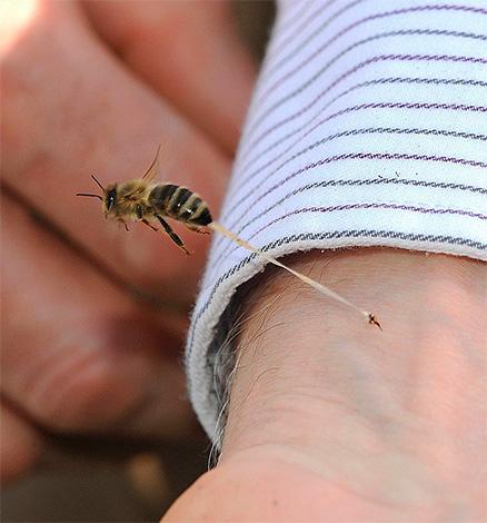 A differenza dei calabroni e delle vespe, un'ape lascia una puntura nella pelle della vittima (insieme a parte degli organi interni) quando viene morsa.