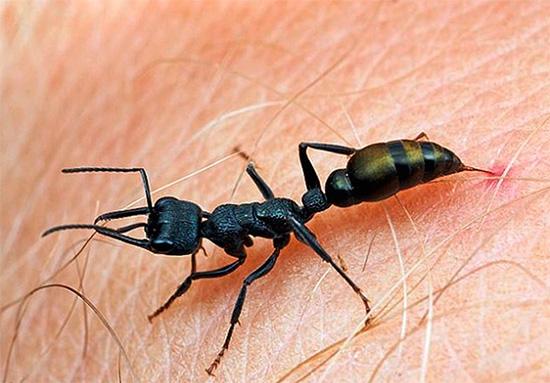 I morsi delle pallottole delle formiche sono tra i più dolorosi tra gli insetti.