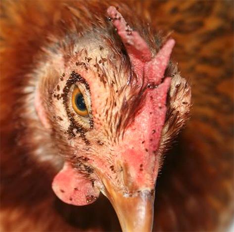 I massicci morsi di pollo possono causare il congelamento degli uccelli.