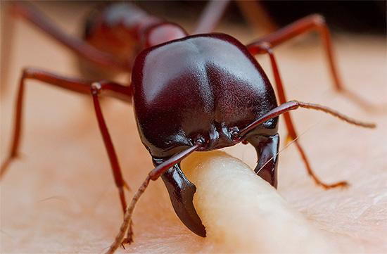 Ad eccezione di alcune formiche pungenti, i morsi di questi insetti di solito lasciano solo segni appena visibili sulla pelle.