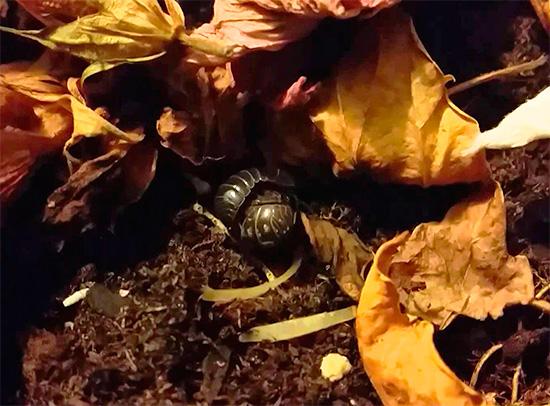 Woodlice può nascondersi, ad esempio, nella lettiera nel giardino anteriore di una casa di città.