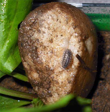 Mokritz può essere portato in un appartamento con patate marce, ma non hanno praticamente alcuna possibilità di sopravvivenza a lungo termine in una stanza asciutta.