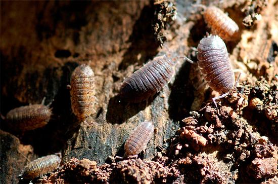 La foto mostra woodlice nel loro habitat naturale - nel vecchio ceppo marcio.