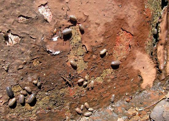 Il vecchio muro della casa, coperto di licheni e con molte crepe - un posto attraente per i pidocchi di legno.