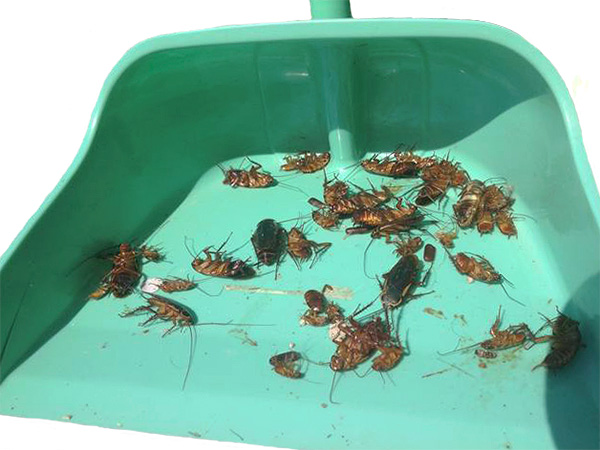 Prima di lasciare gli animali domestici nell'appartamento, è importante spazzare via tutti gli scarafaggi morti e fare la pulizia a umido.