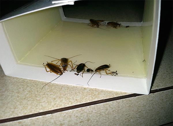 La foto mostra un esempio di trappola di colla con scarafaggi bloccati.