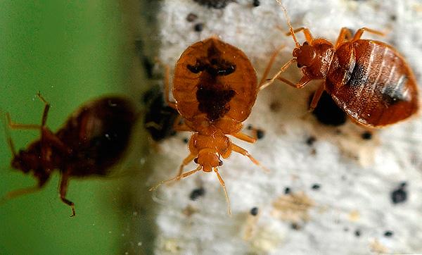 Proviamo a capire meglio per avvelenare gli insetti se improvvisamente sono apparsi in un appartamento o in una casa privata ...