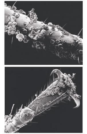 Le microcapsule dei mezzi si attaccano abbastanza bene alle copertine chitinose degli insetti ...