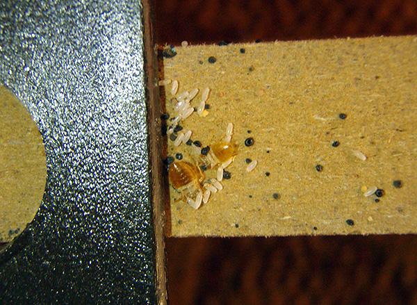 L'immagine mostra chiaramente le uova delle cimici sul muro dei mobili.
