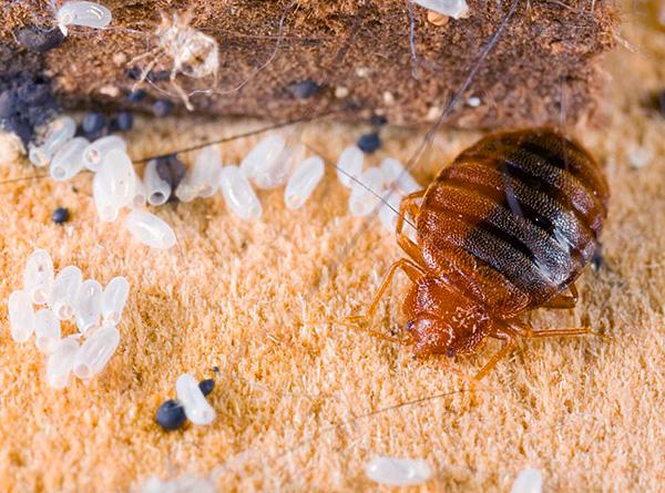 Proviamo a capire come organizzare correttamente la prevenzione delle cimici nell'appartamento per proteggere in modo affidabile la tua casa dall'aspetto di questi parassiti ...