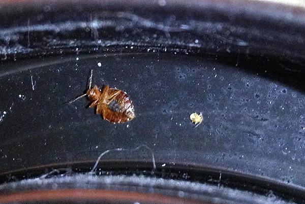 Se ci sono superfici trattate con un agente insetticida in casa, i singoli individui di insetti moriranno anche se entrano in un appartamento, ad esempio dai vicini.