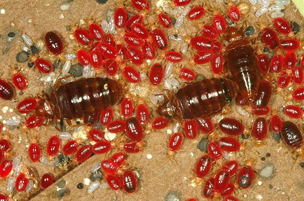 La foto mostra insetti, sangue ubriaco.
