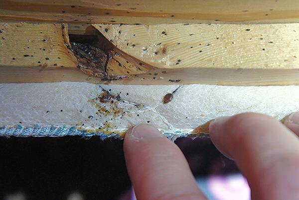 La foto mostra il nido di cimici nel divano.