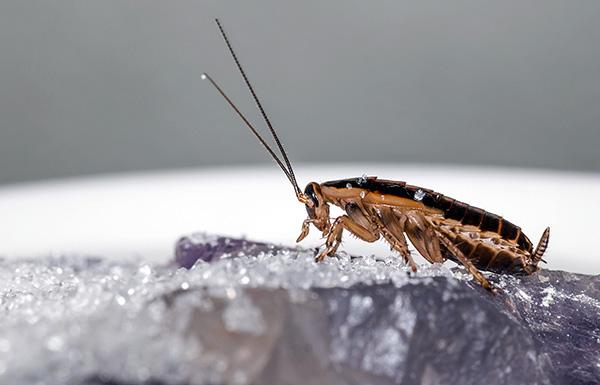 La maggior parte delle polveri insetticide moderne uccide gli scarafaggi a causa del doppio effetto avvelenamento: il contatto e l'intestino.