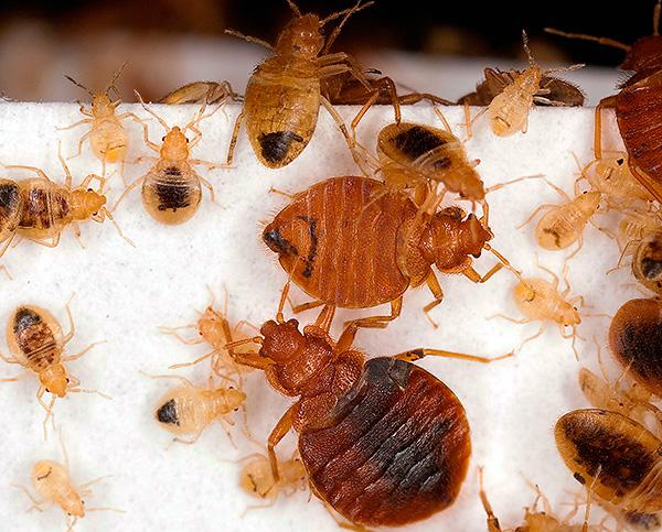 Considera un numero di metodi che aiutano davvero a distruggere completamente i bug nell'appartamento ...